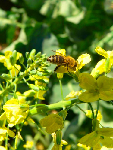 abeille butine un cipan mellifère